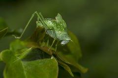 Green locust with long antennae Stock Photo