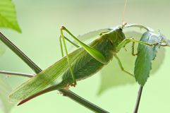 Green locust Royalty Free Stock Photo