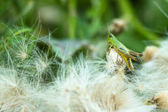 Green locust sits surrounded by down feathers Stock Photos