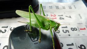 Green Locust sitting on a computer mouse. stock illustration
