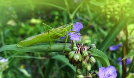 A green locust sitting on a flower. Green locust sitting on a flower of Tradescantia Royalty Free Stock Photography