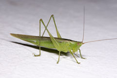 Green Locust. Standing on a white wall Stock Photos