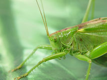 Green Locust. Royalty Free Stock Images