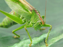 Green locust taken closeup. Royalty Free Stock Photos