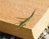Green locust, wing insect. Pest of agricultural crops. Stock Image