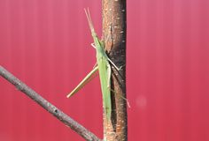 Green locust, wing insect. Pest of agricultural crops. Royalty Free Stock Images