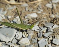 Green locust, wing insect. Pest of agricultural crops. Stock Photo
