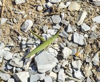 Green locust, wing insect. Pest of agricultural crops. Stock Photos