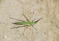 Green locust, wing insect. Pest of agricultural crops. Locusts o Stock Photography
