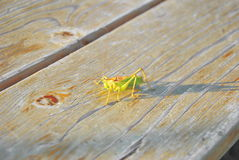 Green locust. With wooden background and sunlight Stock Photo
