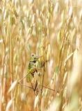 Green Locusts Royalty Free Stock Photos