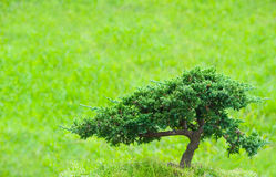 Green lonely bonsai tree Stock Photography