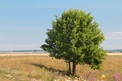 Green lonely tree growing in a meadow Stock Photos
