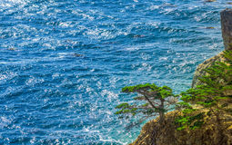 Green Lonesome Pine on the US West Coast Stock Image