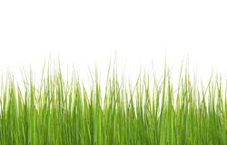 Green long grass isolated on white. Green long grass isolated on a white background royalty free stock photo