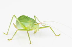 Green long-horned grasshopper Royalty Free Stock Photo
