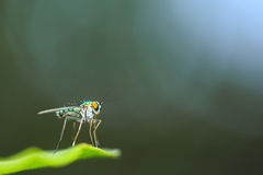 Green Long Legged Fly Stock Images