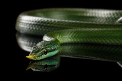 Green long nosed snake, Rhinoceros Ratsnake Royalty Free Stock Image