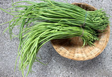 Green long rat-tail radish pods. Raphanus caudatus, vegetable crop with small root but grown for for its 30-60 cm long green pods with tail-like tip, used in stock photos