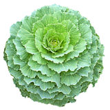 Green Longlived Cabbage in circular shape isolated. Longlived Cabbage in circular shape isolated stock photos