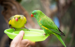 Green lorikeet feeding Stock Image