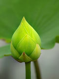 Green lotus. Budding green lotus on blur green leaf background stock images