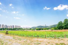 Green lotus field and apartment in Korea stock image