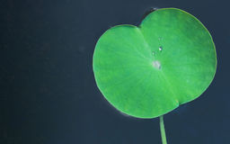 Green lotus leaf Royalty Free Stock Image