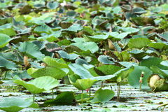 Green lotus leaf Royalty Free Stock Images