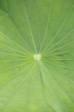 Green lotus leaf Stock Photos