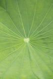 Green lotus leaf Stock Photos