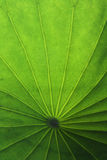 Green lotus leaf. The green lotus leaf under sunshine in summer royalty free stock images