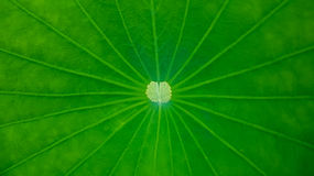 Green Lotus Leaf Background Stock Images