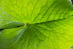 Green lotus leaf. Closeup Stock Photography