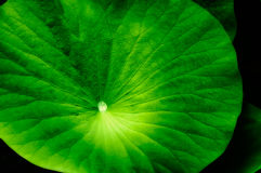 Green lotus leaf Royalty Free Stock Photo