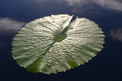 Green lotus leaf in the dam, Garden Route, South Africa Stock Images