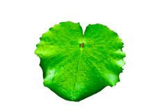 Green lotus leaf on isolated background. Isolated object stock images