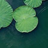 Green lotus leaf Royalty Free Stock Photos