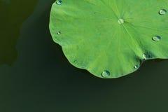 Green lotus leaf in the lake. Royalty Free Stock Photos
