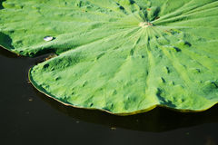 Green lotus leaf in the lake. Stock Images