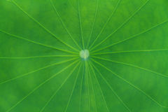 Green lotus leaf Stock Image