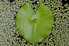 Green lotus leaf looks like heart. Green lotus leaf on the water looks like heart Royalty Free Stock Photo