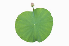 Green lotus leaf Lotus flower beautiful Royalty Free Stock Images