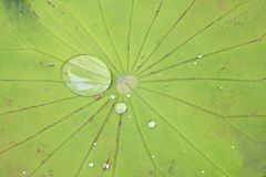 Green Lotus leaf with water drop as background Stock Photo