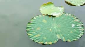 Green Lotus Leaf with Water Drop in The Still Flat River used as Template Royalty Free Stock Image