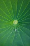 Green Lotus Leaf With Water Drops Royalty Free Stock Photo