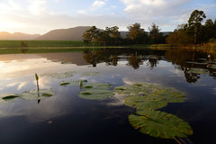 Green lotus leafs with water lilies in dam, Garden Route, South Africa Stock Photo