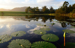 Green lotus leafs with water lilies in dam, Garden Route, South Africa Royalty Free Stock Photography