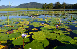 Green lotus leafs with water lilies in dam, Garden Route, South Africa Stock Image