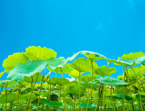 Green lotus leaves on the blue sky Stock Photos